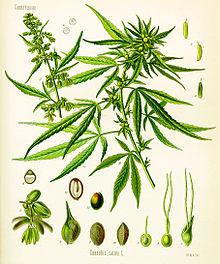 marijuana-cannabis_sativa